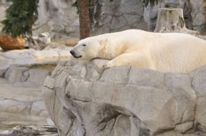 白熊くんZ